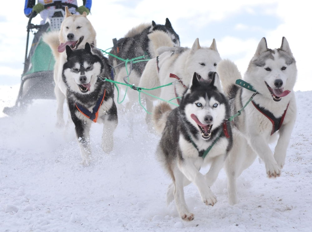 A pack of Husky sled dogs.