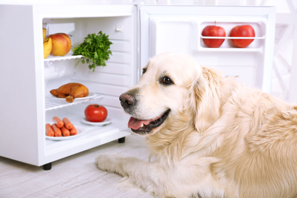 cute labrador near fridge kitchen