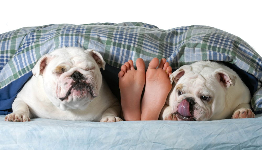two english bulldogs bed owner