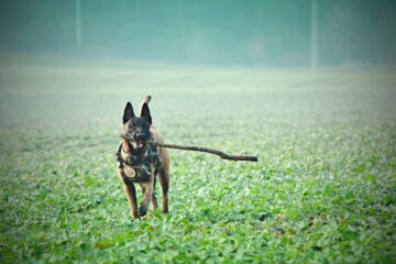 Are Belgian Malinois Good Family Dogs? Learn About Them Here