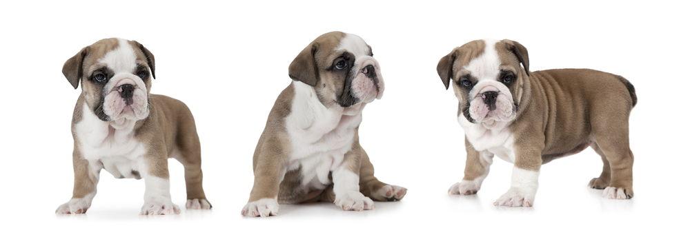 English Bulldog puppy (six weeks old)
