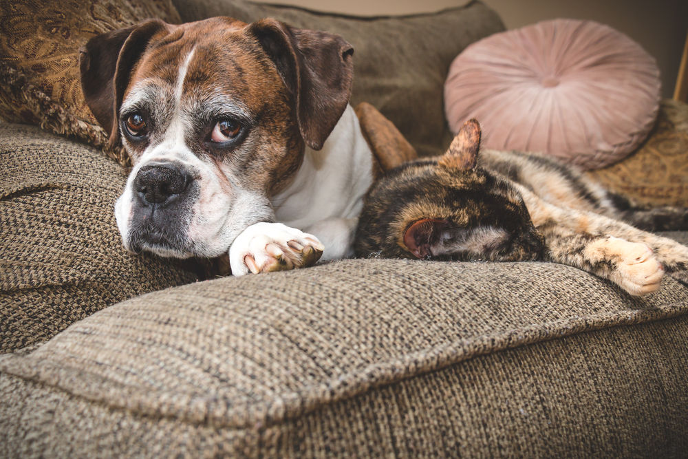 are boxers good with cats