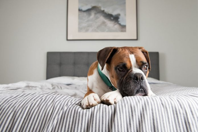 how long do boxers live with cancer
