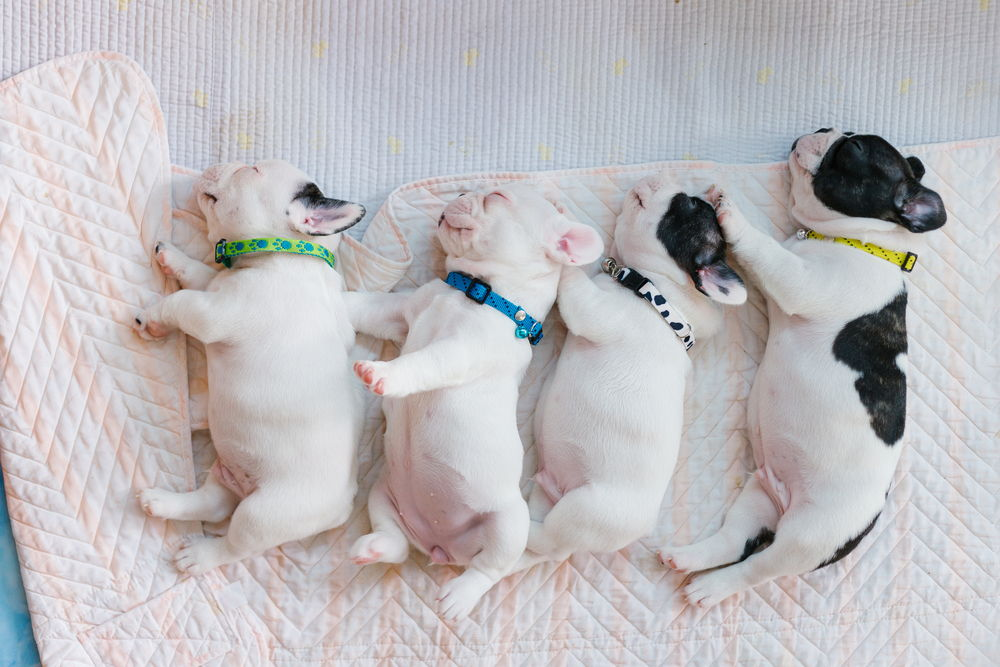 The baby French Bulldog are sleeping on the bed