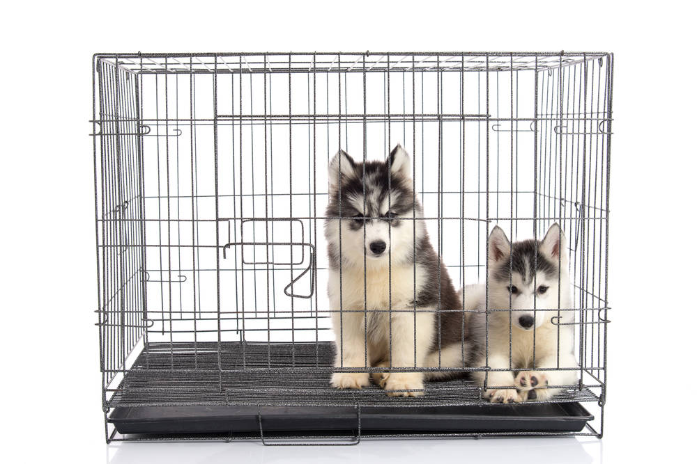 Cute siberian husky puppies in the cage