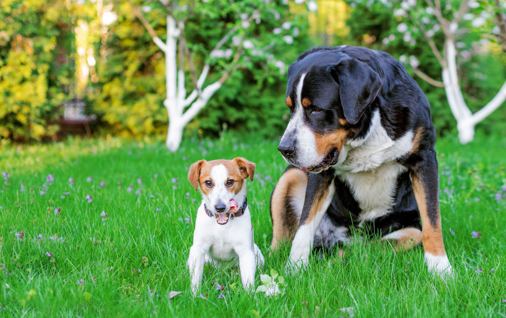 Great Swiss Mountain Dog and Little Jack Russell
