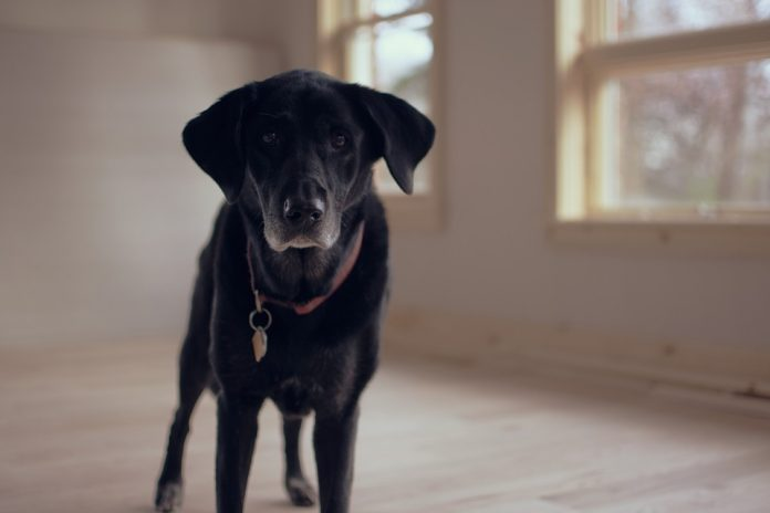 Mobility in Dogs Suffering from Arthritis