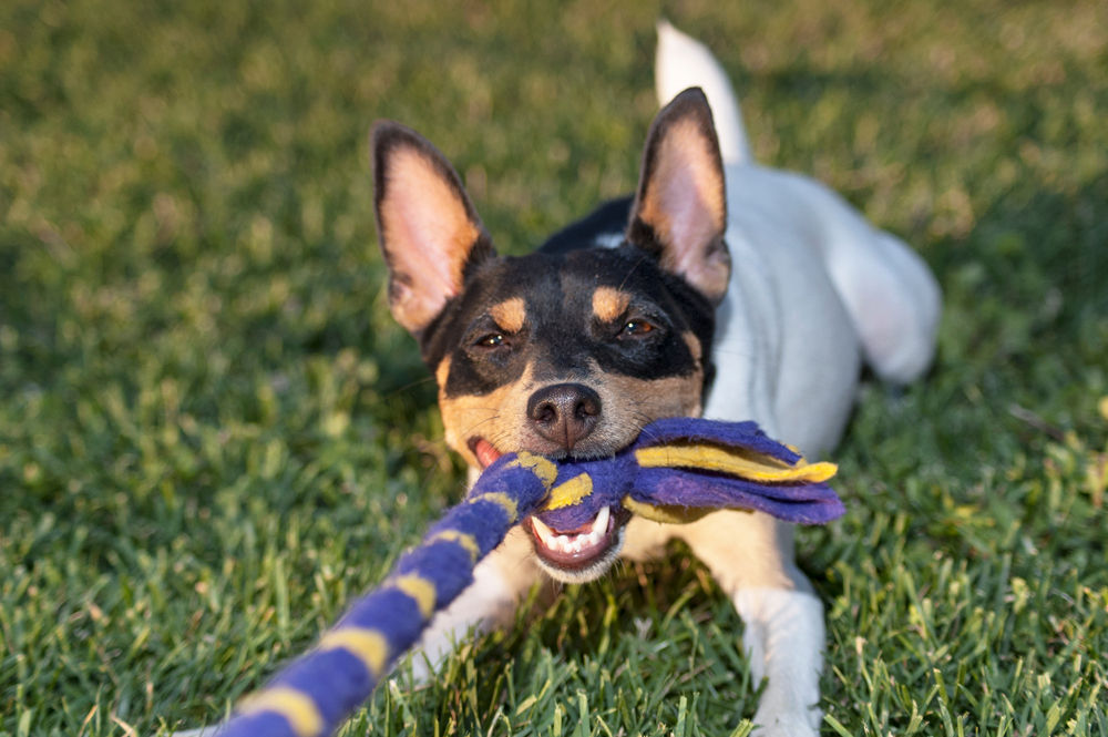 toy fox terrier playing tug of war