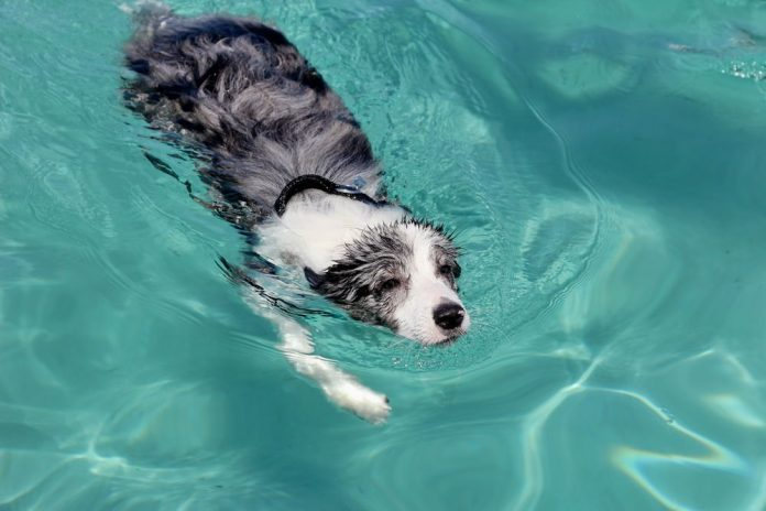 Can Border Collies Swim