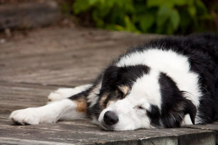 Australian Shepherd Sleeping Habits
