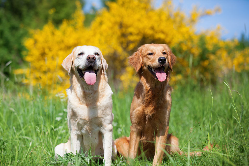Do Golden Retrievers Shed More Than Labs