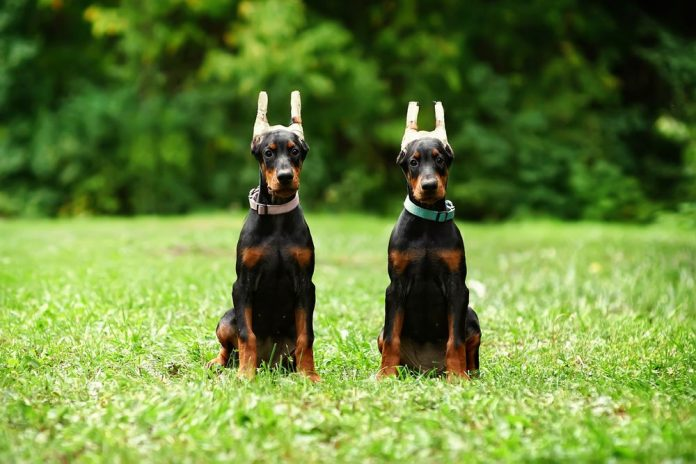 doberman ear posting problems