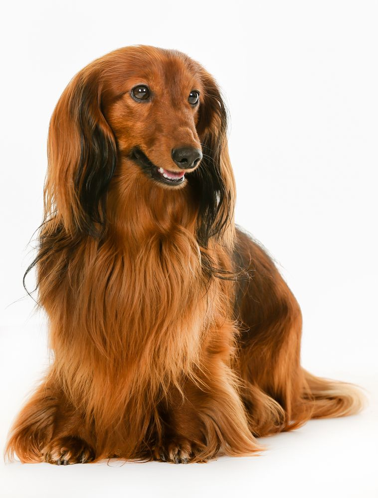 Purebred brown longhaired dachshund dog