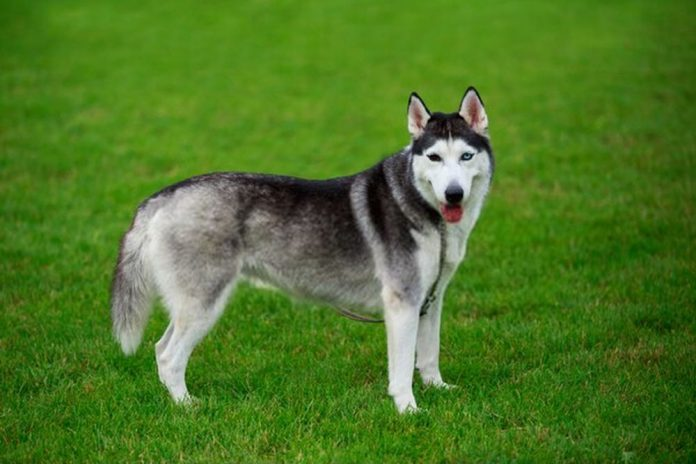 can siberian husky live in hot weather