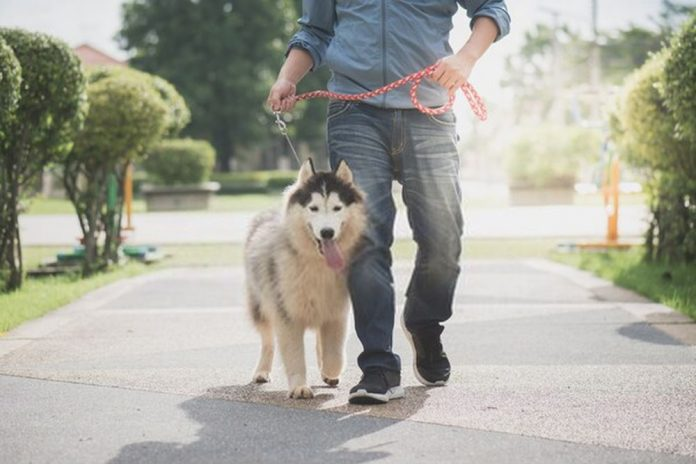 how much exercise does a siberian husky need