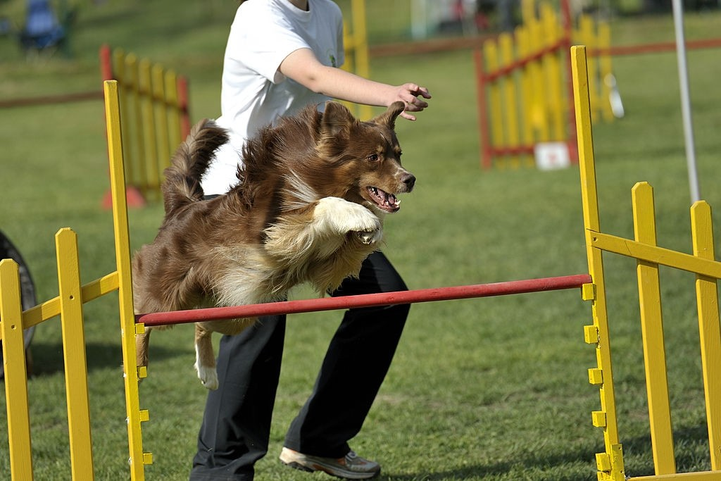 Australian sheepdog over the jump hurdle