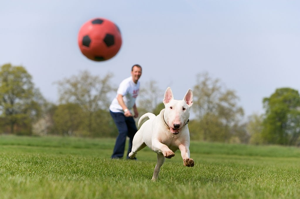 english bull terrier chasing ball