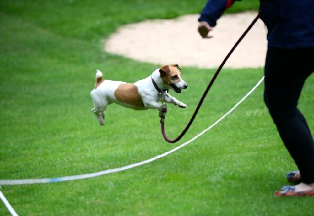 Jack Russell Terrier jumping over a rope