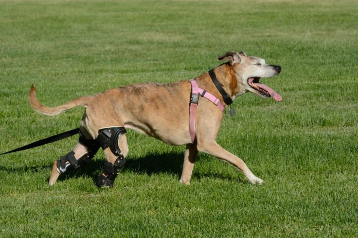 Essential Things You Should Know About Dog Knee Brace for ACL Tear