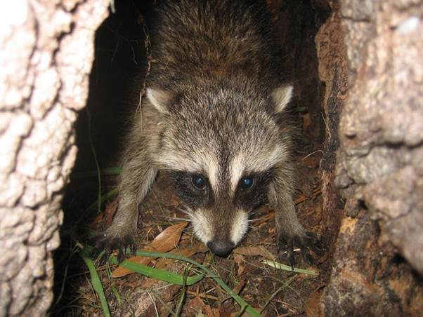 avoid conflicts with raccoons