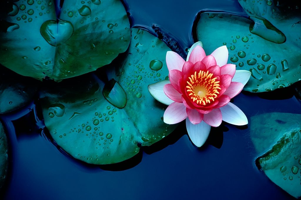 how to plant water lily bulbs in aquarium