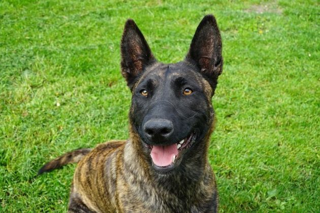 are dutch shepherds good family dogs