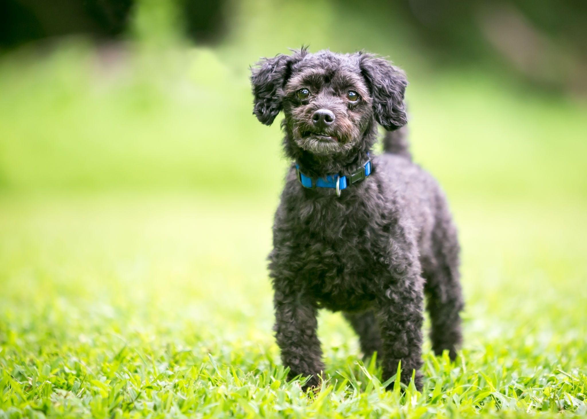 A small black Poodle mixed