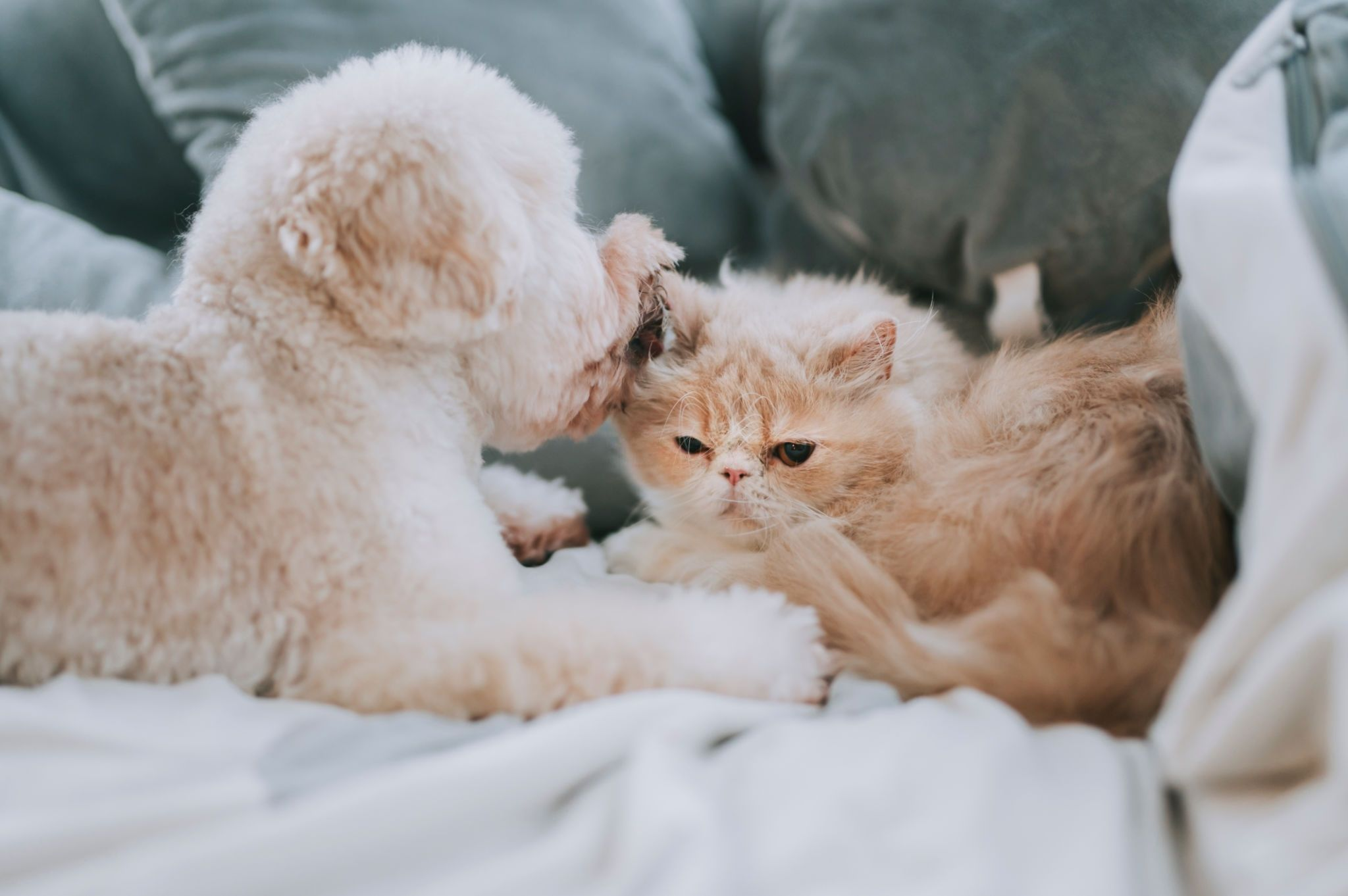 a toy poodle licking on a cat