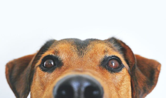 An Expert Step-by-Step Guide On Cleaning Your Dog's Ears