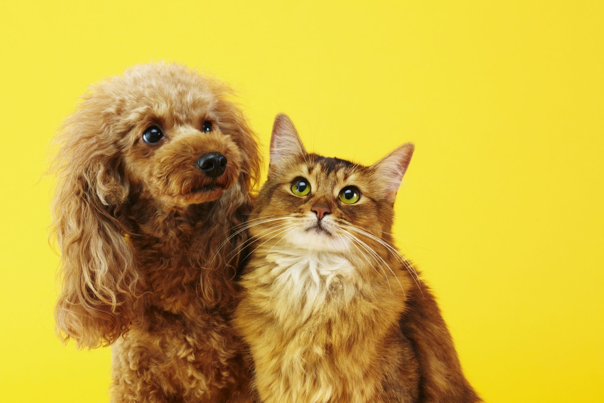 are poodles good with cats