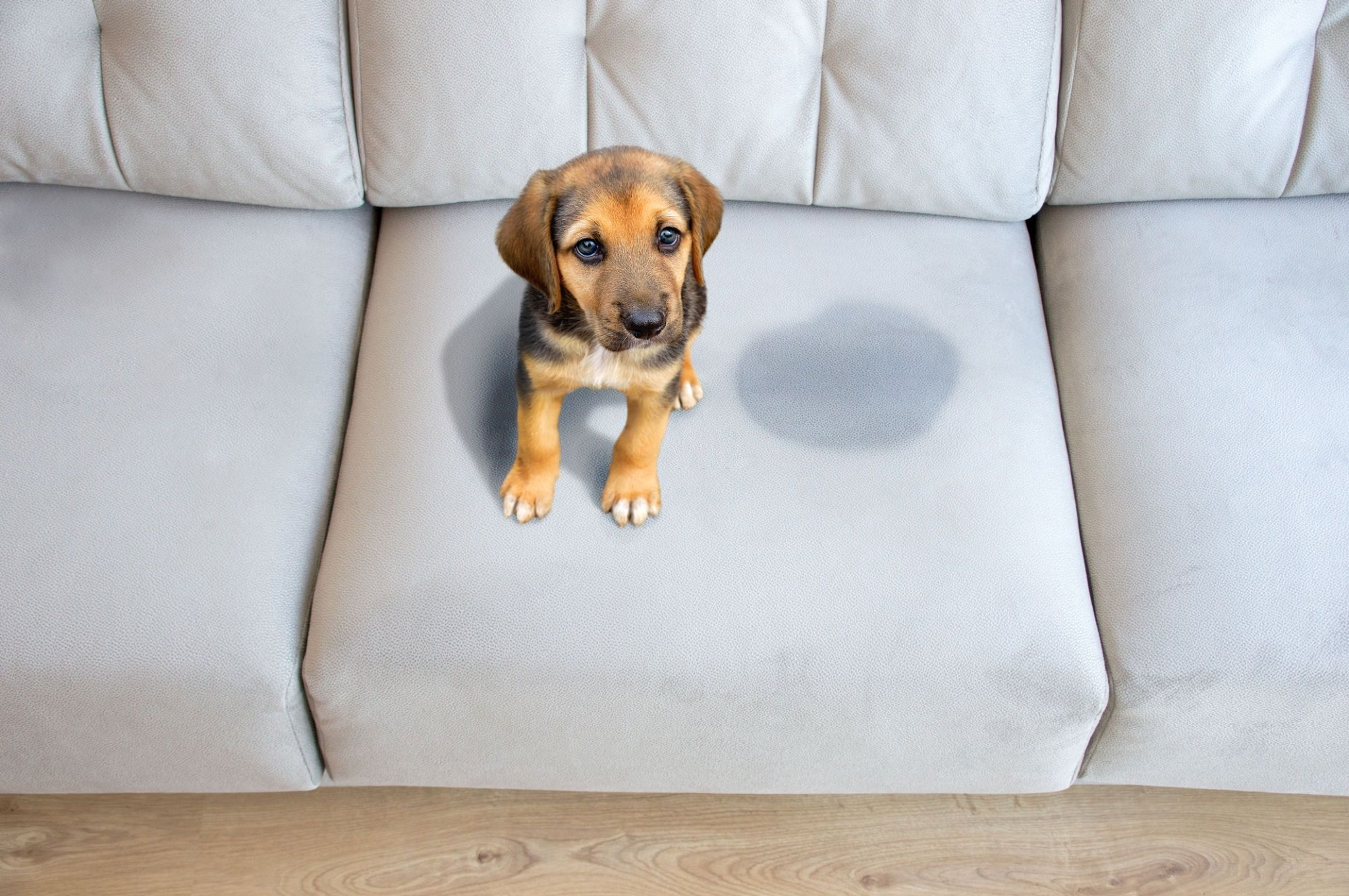 my dog peed on my couch