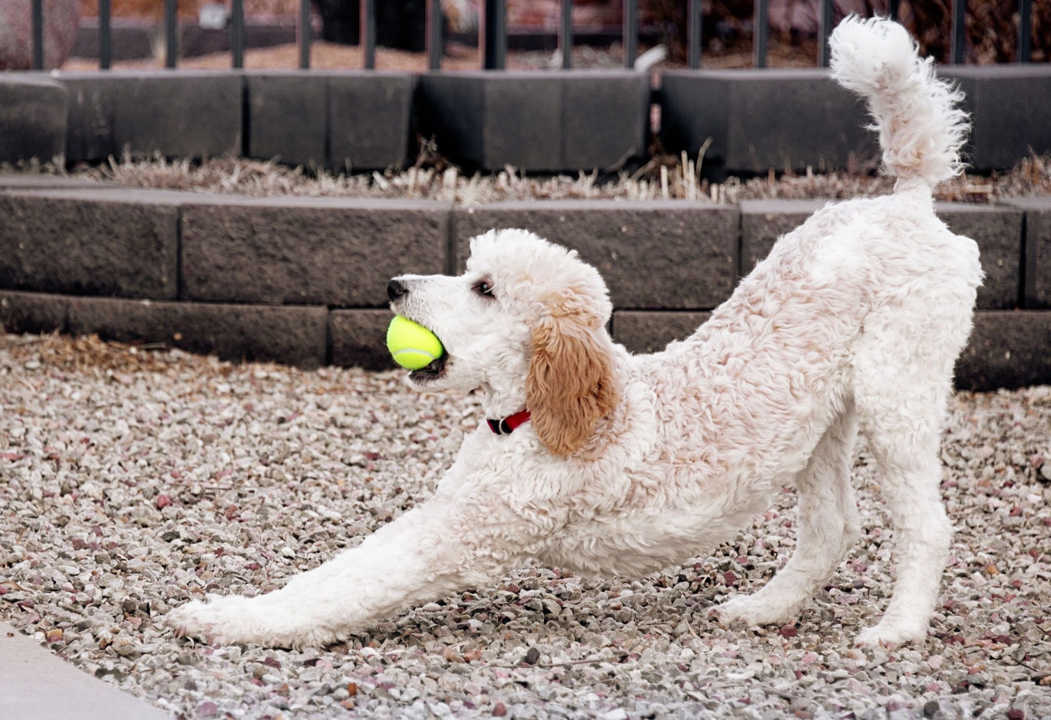 standard poodle puppy stretching