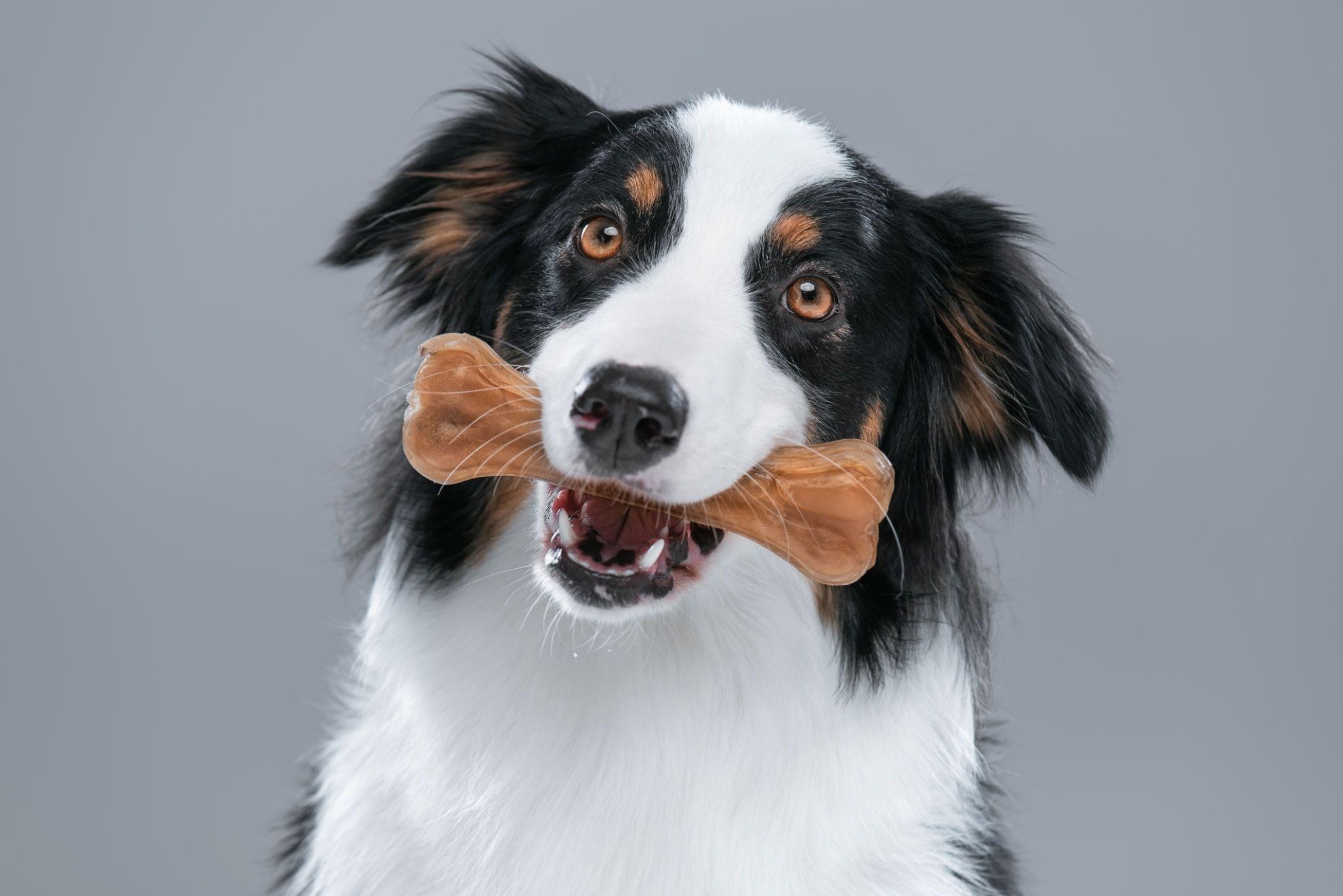 Australian Shepherd dog with chew bone