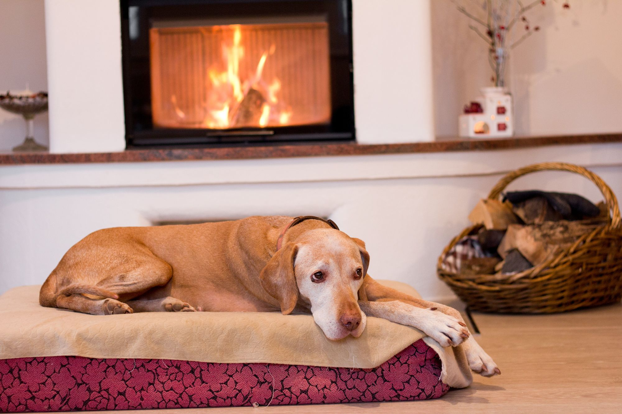 8 Tips For Maintaining Your Elderly Dogs Health