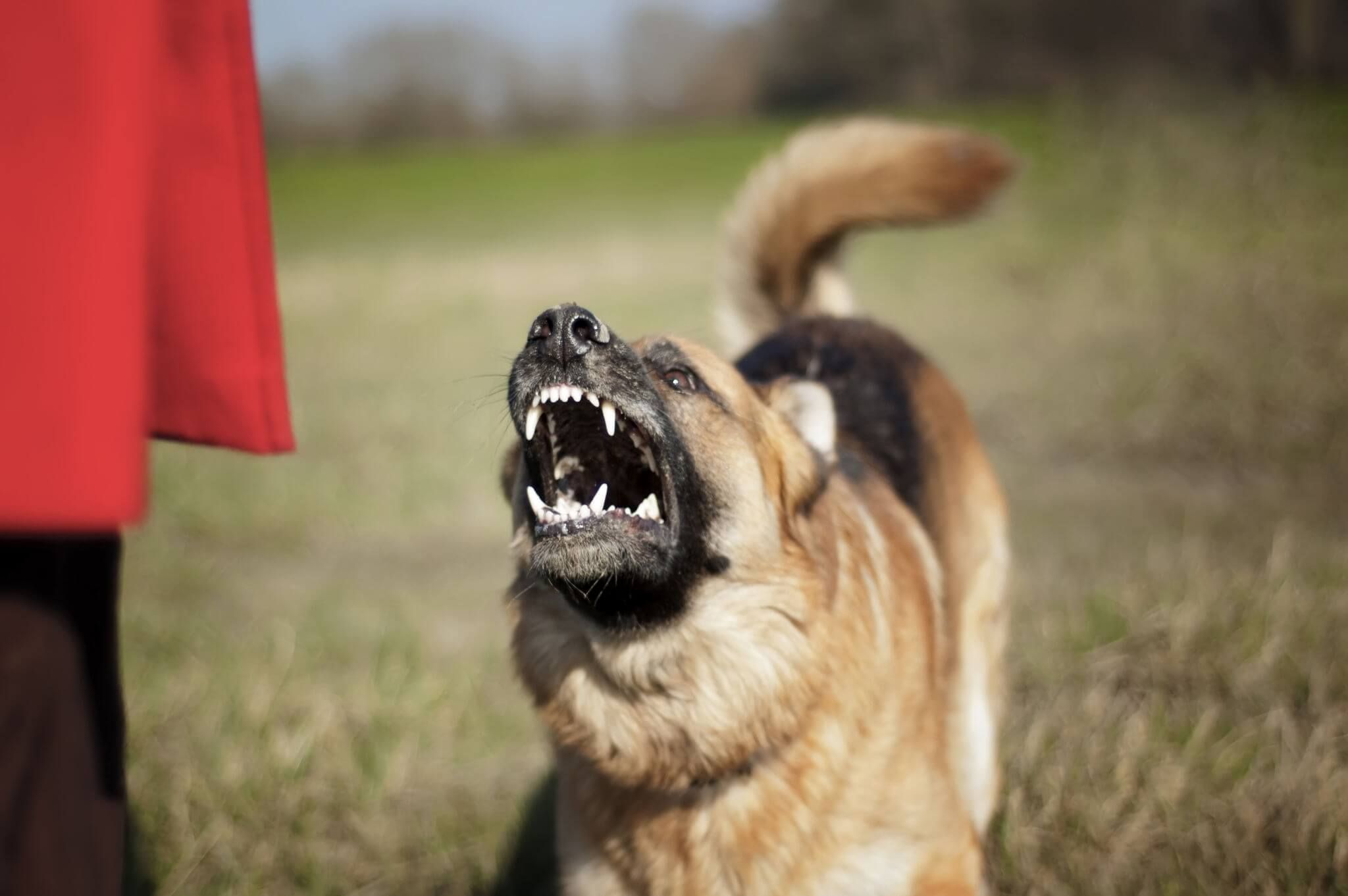 german shepherd barking at other dogs