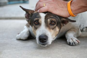 How To Care For A Dog With An Enlarged Heart? Medical Treatments
